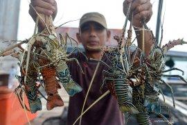 Kebijakan KKP tentang benih lobster hadapi tantangan, ini kata Menteri Edhy Prabowo
