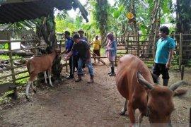 Distan: 90 sapi di Mukomuko mati akibat jembrana