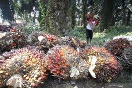 Harga TBS naik, petani Abdya mulai rawat kebun sawit