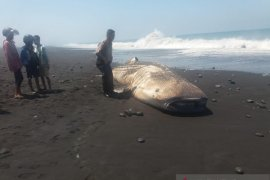 Seekor hiu paus terdampar di Pantai Bambang Lumajang