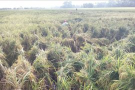 Karena angin kencang, 825 hektare tanaman padi Langkat terancam rebah