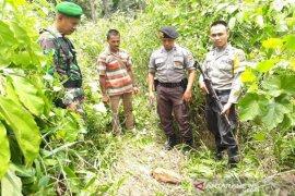 Seekor sapi mati dimakan harimau sumatera di Aceh Selatan