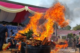 BKP Pangkalpinang musnahkan 208 batang bibit jeruk Kalimantan