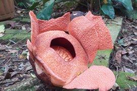 Kerusakan habitat ancaman terbesar kepunahan Rafflesia patma