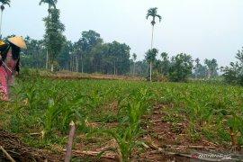 Petani jagung Solok Selatan terancam gagal panen karena serangan hama ulat