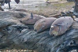 BKIPM Ambon uji sampel dari ribuan ikan karang mati