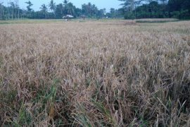 Di Kabupaten Lebak, tercatat  425 hektare gagal panen