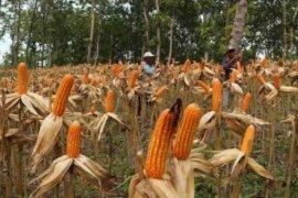 Sebagian petani di Tulungagung kesulitan pupuk bersubsidi