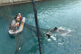 Tim Rescue Shark Paiton evakuasi Hiu Paus