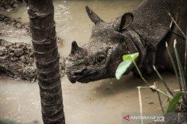 Wali Nanggroe: Aceh akan bangun konservasi badak sumatera