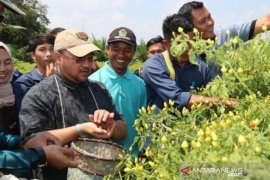 Gubernur Babel panen cabai rawit di lahan perkebunan sawit