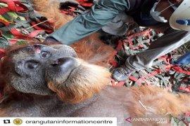 PLTA Batang Toru prihatin ada orangutan terluka