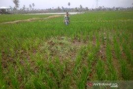 Ratusan hektare lahan pertanian di Rejang Lebong Bengkulu terdampak kekeringan