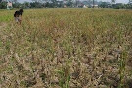 454 hektare tanaman padi di Lebak gagal panen