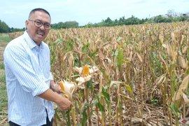 Optimalisasi lahan rawa jaga produksi padi