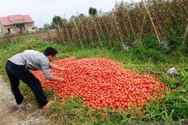 Harga Rp500 per kilogram, petani biarkan tomat membusuk di ladang