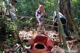 Habitat Rafflesia di Taba Penanjung dipadati pengunjung, didominasi tamu GTTG