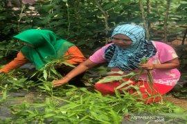 PLTA Batang Toru dongkrak ekonomi warga lewat budidaya hortikultura