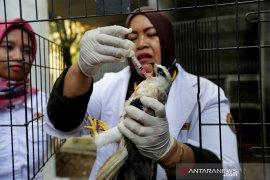 Elang Tikus Sitaan BKSDA Aceh
