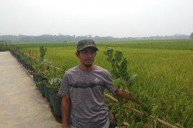 Saat kemarau, kelompok tani Sukabungah di Lebak panen 120 hektare