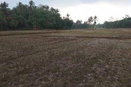 Akibat kemarau,  454 hektare lahan pertanian di Lebak gagal panen