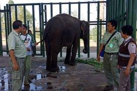 Empat ekor gajah asal Indonesia dipinjam  Australia