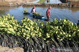 Budidaya Pembibitan Mangrove