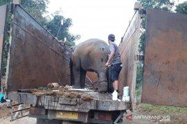 Tiga gajah sumatera dikembalikan ke habitatnya