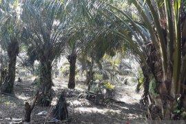 Dua kelompok tani di Mukomuko terima dana bantuan peremajaan sawit