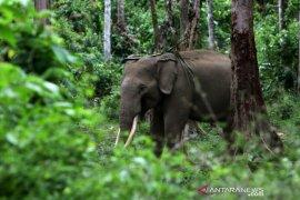Gajah Jinak CRU Sampoiniet