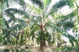 Harga sawit petani Mukomuko turun Rp10/kilogram