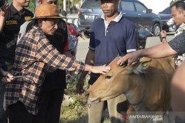 Nelson Pomalingo serahkan bantuan sapi ke warga transmigrasi