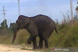 Gajah liar birahi masuk ke permukiman penduduk, petugas BBKSA pun dibuat pusing