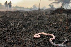 Kebakaran lahan merambat hingga hanguskan kebun nanas warga