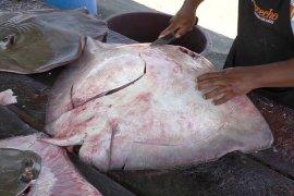 Warga desa ini tangkap ikan pari berbobot 200 kilogram