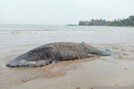 BPSPL Padang takes sample of Whale Shark strand in Pesisir Selatan