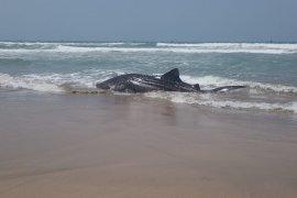 Diduga akibat gelombang laut ekstrim, seekor hiu terdampar di Perairan Wanasalam