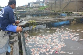 Puluhan ton ikan peliharaan di tambak mati di Sungai Banjarmasin