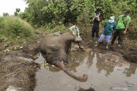 Gajah sumatera ditemukan mati di wilayah konsesi di Bengkalis