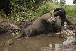Dita, seekor gajah yang mati akibat infeksi luka jerat