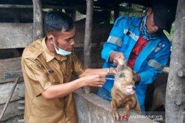 Puluhan ternak babi mati mendadak di Taput, warga diimbau hindari impor ternak luar