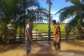 Padi terancam gagal panen segera didata di Aceh Jaya