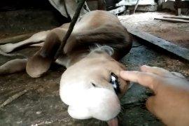 Anak sapi bermata satu hebohkan warga Sukadana