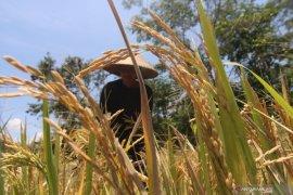 Mukomuko bantu petani tanggulangi hama perusak padi