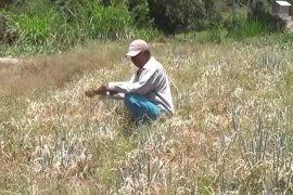 Ratusan hektare tanaman sayuran di Magetan terancam gagal panen