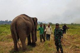 Lebih kurang 1,5 hektar areal sekitar lahan penangkaran gajah Banyuasin terbakar