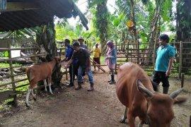 Distan Mukomuko: jumlah sapi mati akibat jembrana turun