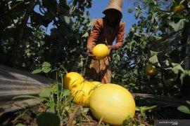 Harga melon melonjak