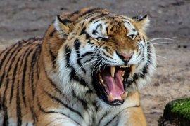 warga Lahat tewas diterkam harimau