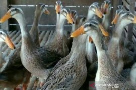 Balitbangda Kalsel teliti produk olahan Itik Alabio